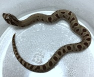 セイブシシバナヘビ アナコンダ♂ 2