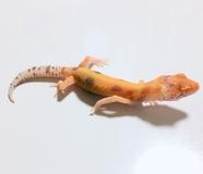 ヒョウモントカゲモドキ ブラッドベルエニグマpossエクリプス No1