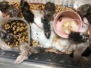 餌用カラーファンシーマウス