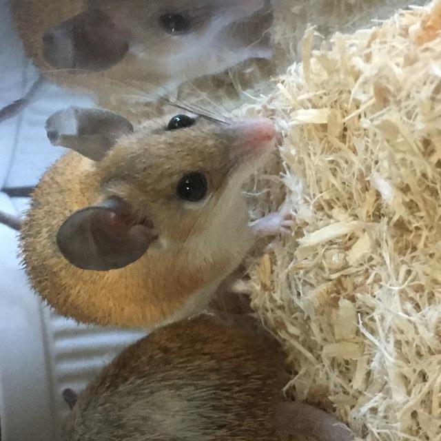 カイロトゲマウス